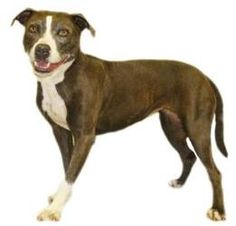 Zoey - 1/2 Price Adoption is an adoptable Pit Bull Terrier Dog in Inverness, FL. Anna Lise and her sister Zoey are both 8 year old spayed Blue/White Bulldog mixes and found themselves homeless after t...