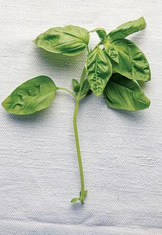 A relative of mint, basil thrives in hot, dry climates. Though it is predominantly associated with Mediterranean cuisines, the herb is native to India and used the world over in fresh and cooked preparations. There are more than 40 culinary basil varieties ranging in flavor from delicately herbaceous to downright emphatic—try experimenting with them to take your pestos, sauces, and salads in different directions.