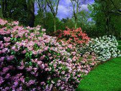 W królestwie rododendronów! Cudowne różaneczniki! http://poradzimy24.pl/jak-pielegnowac-rozaneczniki/