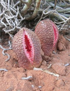 Root holoparasite hydnora africana in full bloom.