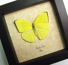 Real Neon Yellow Phoebis Trite Real Framed by REALBUTTERFLYGIFTS,