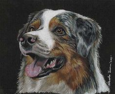 My Colored Pencil Australian Blue Merle Shepherd Dog Drawing.
