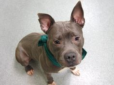 TO BE DESTROYED - 04/13/14 Manhattan Center   TAZ - A0995086  *** SAFER: NH ONLY ***  MALE, GRAY / WHITE, PIT BULL MIX, 3 yrs OWNER SUR - ONHOLDHERE, HOLD FOR LICENSED Reason OWNER DIED  Intake condition NONE Intake Date 03/28/2014, From NY 10454, DueOut Date 03/31/2014, https://www.facebook.com/photo.php?fbid=780638261949055&set=a.617938651552351.1073741868.152876678058553&type=3&theater