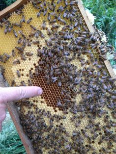 Fleißiges Bienchen #BienenKoenigin #Biene #Bienen #Bienenvolk #Bienenvoelker #Hobby #Bienenzucht https://twitter.com/AC_Bienenfreund