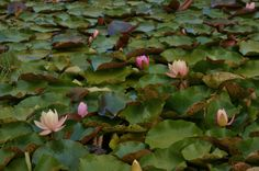 Nymphaea 'Florida Sunset'