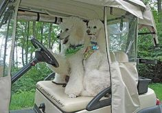 Poodles driving a golf cart does your fur friend like to drive and ride???