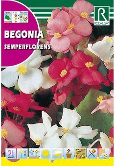 Egynyári virágok : Begónia Semperflorens Begonia