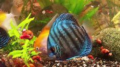 Discus and Angelfish tank. Discus Aquarium, Discus Fish, Angel Fish Tank, Tropical Freshwater Fish, Angelfish, Dinner, Animals, Pisces, Dining