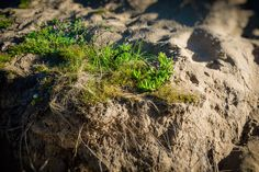 Exposed (2016).  The dunes are under constant threat from erosion. The plants that populate them help to stabilise this action. The exposed roots show an area that is battling.  Anglesea, Vic. Australia. Image: © Gary Light. Creative Commons: (CC BY-NC-ND 4.0).  #photography #walking #nature #landscape #victoria #australia #beach #urquhartbluff #dunes #anglesea #greatoceanroad #wandervictoria