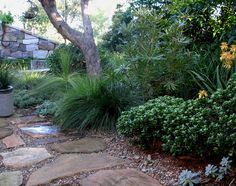 Kinman garden   Compact garden combining local banksias, grevilleas and grasses with exotic arid zone plants to create an eclectic mix that thrives in salt and sand. Rustic stone walls provide shelter and privacy to a courtyard where brush box and celery wood shade lomandras, aloes, begonias and crassulas.