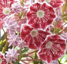 Buy Kalmia latifolia Pinwheel (Mountain Laurel) online from Jacksons Nurseries Kalmia Latifolia, Colourful Garden, Mount Laurel, Creepers, Nurseries, Pinwheels, Pennsylvania, Shrubs, Succulents