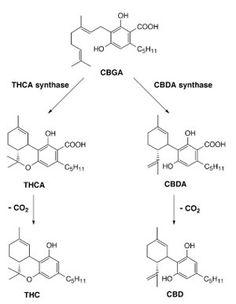 NEWS ARTICLE: new strains of cannabis NO THC, HIGH CBD. the new medical marijuana?