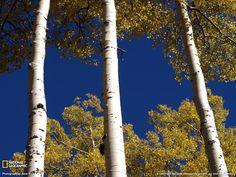 aspen tree - Google Search