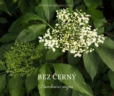 Bylinky jsou dar Parsley, Herbs, Plants, Syrup, Herb, Flora, Plant, Planting