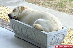 Lab sleeping in cement planter #funny #dog