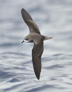 31 Best Petrel images in 2014 | Birds, Sea birds, Bee