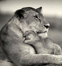 Lioness & cub.