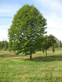 Acer 'Saccharrum':  Sugar Maple This native tree is slow to medium growing maple that has dense medium to dark green foliage turning to shades yellow, orange and red in the fall.