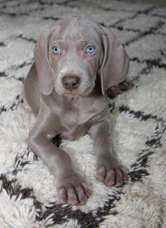 Weimaraner puppy. Can't get enough of those eyes and big floppy ears