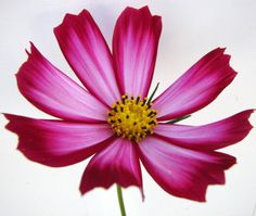 Cosmos flowers are my favorite. I just took this pic from my garden ~   brooklynbeadgoddess.