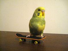 EllieAndAda: Budgies on Boards Budgies, Skateboards, Parrot, Birds, Friends, Parrot Bird, Amigos, Parakeets, Skateboarding