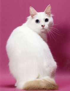 Suitable food for Japanese Bobtail Cats.Click the picture to read