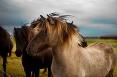 Beautiful Icelandic Horses - don't call them ponies, they don't appreciate it.