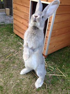Giant Bunny, Big Bunny, Cute Bunny, Rabbit Life, House Rabbit, Bunny Rabbit, Animals And Pets, Baby Animals, Cute Animals