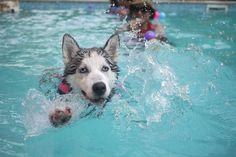 Dog, Animal, Puppy, Siberian Huskies, Siberian Husky