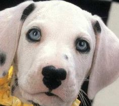 Best Treats for Your Dog . and other Doggie Stuff: Franki the Blue-Eyed Black Lab/Dalmatian Mix? Dalmatian Puppies For Sale, Dalmatian Mix, Cute Puppies, Pet Dogs, Dog Cat, Doggies, Dachshunds, Baby Animals, Cute Animals