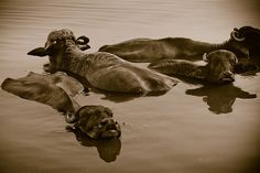 water buffalo in Ganges - Varanasi, India by Phil Marion, via Flickr