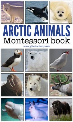 Arctic Animals Montessori Book - photo, description, and information on 14 different Arctic animals. This is a perfect Arctic learning resource for your Arctic unit study! | #Arctic #ArcticAnimals #Montessori #printable #polar #giftofcuriosity || Gift of Curiosity