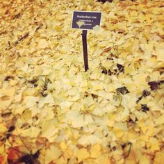That's the problem with #fall leaves I guess. #chathamu #chathamuniversity #shadyside #pittsburgh #autumn #fallleaves #yellow #gold #maidenhair #ginkgobiloba #pavedingold #pavedingoldleaves @chathamarboretum