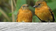 Cinnamon Flycatchers, Mother (right) And Baby.  Magdalena Valley, Colombia