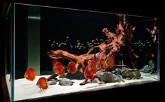 28 Modern Fish Tanks That Inspire Relaxation-Red Discus and red wood