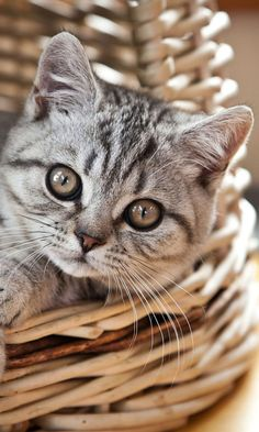 Cat in Basket wallpaper 480x800