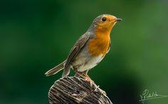 Focus Point - Focus Point (robin bird)
