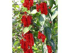 vitafit-beere-schisandra-chinensis-wu-wei-zi-1-pflanze-zoom.jpg (1500×1125)