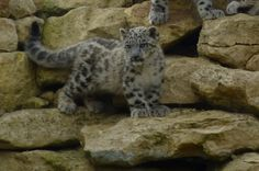 Endangered #SnowLeopards Born at @Alistair Moody Zoo #bigcats #cats
