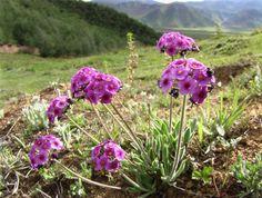 Wildstauden in Garten und Natur Songzanlin-Kloster Yunnan China