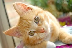 Consejos para adiestrar a un gato - http://www.notigatos.es/consejos-adiestrar-gato/ #gatos