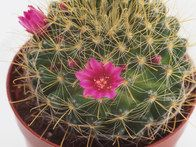 Echinopsis grusonii 5 gallon plants 5 width by 6 height the mammillaria zeilmanniana is a clump forming cactus armed with a combination of small spines mightylinksfo