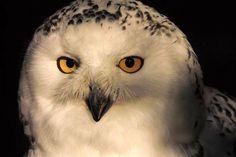 """Der Kopf der Schnee-Eule ist rund. Auffällig ist, dass der schwarze Schnabel überwiegend von so genannten """"Vibrissen"""" bedeckt ist. Dies sind dichte, feine weiße Federn.   Die Iris der Augen ist goldgelb gefärbt. Ähnlich wie der Uhu verfügt auch die Schnee-Eule über Federohren; diese sind jedoch deutlich weniger ausgeprägt und werden nur selten aufgerichtet. Animals, Horned Owl, Peregrine Falcon, Red Kite, White Feathers, Northern Goshawk, Sparrowhawk, Animales, Animaux"""