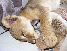 Leoa e suricato chegam a dormir abraçados.