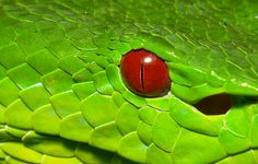 Chinese Green Tree Pit Viper (Trimeresurus stejnegeri) Snake Photos, Pit Viper, Best Hug, Chinese Greens, Snake Venom, Reptiles And Amphibians, Tortoises, Green Trees, Snakes