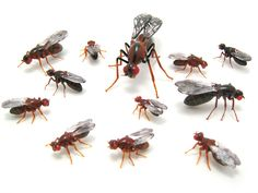 Drosophila - 12 species, glass insects by Wesley Fleming