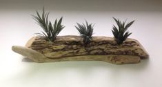 Driftwood display, Air plants, Tillandsia, Driftwood sculpture, Art, Crafts by DriftwoodCreationsUK on Etsy Driftwood Sculpture, Sculpture Art, Driftwood Candle Holders, Driftwood Ideas, Air Plant Display, Art Crafts, Nautical Theme, Air Plants, Candles
