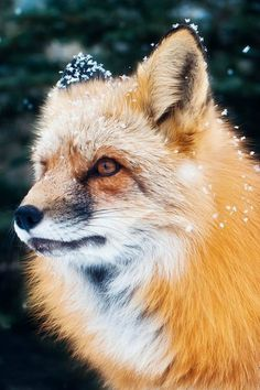 Red Fox In A Light Snow