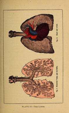 Plate IV - The Lungs. Man the Masterpiece (https://www.pinterest.com/pin/287386019949267835), John Harvey Kellogg (https://pinterest.com/pin/287386019944790156), 1886.
