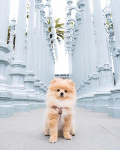 My full name is Young Doggie King Kong Da Savage Pom Cute Baby Animals, Animals And Pets, Funny Animals, Cute Dogs And Puppies, I Love Dogs, Doggies, Logan Paul Kong, Jake Paul, Beautiful Creatures